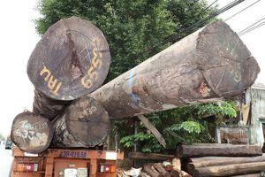 Bắt 4 xe container vận chuyển hàng chục cây 'khủng' không rõ nguồn gốc