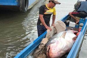 Cá tra nặng hơn 200kg từ Campuchia về Việt Nam bán gần 90 triệu đồng
