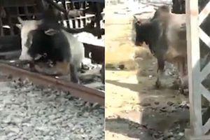 Nằm dưới đường ray xe lửa chạy qua, chú bò khéo léo 'luồn lách' để thoát chết