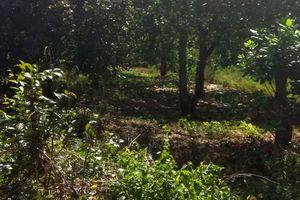 Đã bắt được 3 nghi can vụ cưa trộm cây trong rẫy còn chém chủ vườn