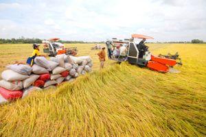 Giá lúa gạo sụt giảm liên tiếp trong tuần