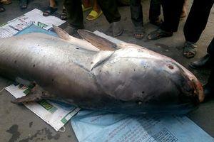 Thủy quái cá tra dầu khủng nặng 240 kg được bán giá 70 triệu đồng