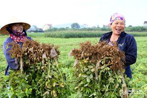 Hàn Quốc hỗ trợ sản xuất lạc giống năng suất cao ở Diễn Châu