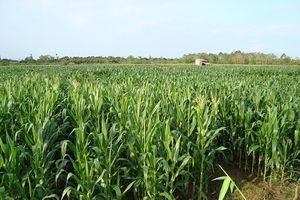 Quảng Nam: Chủ động chuyển đổi cây trồng trong điều kiện khô, hạn