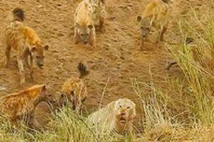 Sư tử đực bị 12 con linh cẩu bao vây, cướp xác linh dương