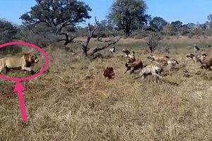 Clip: Cuộc chiến giành mồi giữa sư tử đực với đàn linh cẩu