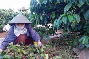 Gia Lai: Dân trồng cà phê 'khóc ròng' vì mất mùa, 'khát' nhân công