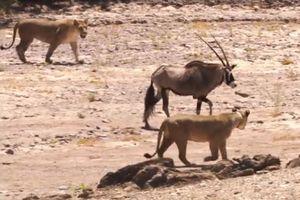 Linh dương sừng kiếm chiến đấu với 2 con sư tử