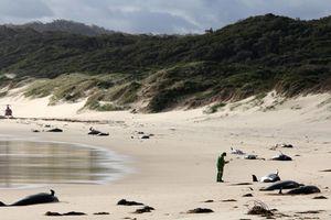 Thương cảm hình ảnh cá voi chết la liệt trên bờ biển