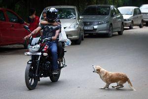 Ở nước ngoài, chó thả rông bị xử lý thế nào?