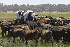 Con vật khổng lồ: Chú bò may mắn vì... 'quá khổ'