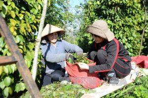 Hơn 10.000 tấn hồ tiêu ở Bình Phước được cam kết tiêu thụ