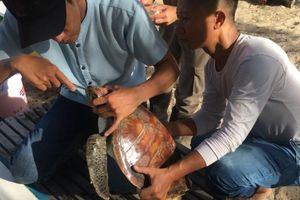Hy hữu nội soi gắp dị vật nhựa cứu sống rùa biển