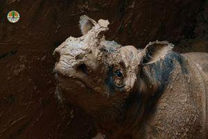 Giải cứu tê giác Sumatra cực kỳ nguy cấp mang lại hy vọng mới cho loài