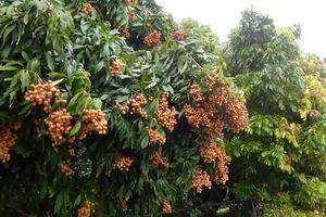 Thái Nguyên: Tăng thu nhập từ chuyên canh cây ăn quả có giá trị kinh tế