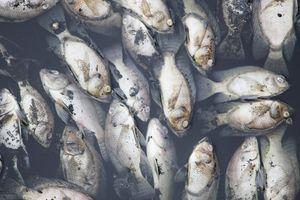 Nguyên nhân cá chết hàng loạt ở Nghệ An là do hồ điều hòa bị ô nhiễm