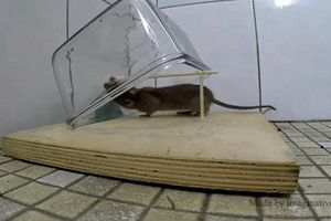 Chẳng cần bẫy kỳ công, chỉ với vài vật dụng đơn giản, nhà bạn sẽ không còn con chuột nào