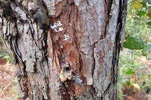 Truy tìm thủ phạm đầu độc gần 700 cây thông ở Lâm Đồng