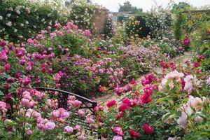 Lạc vào những vườn hồng đẹp nhất thế giới