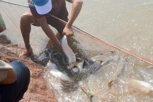 Nuôi loài cá 'nhát chết', khó về con giống nhưng dễ bán giá cao