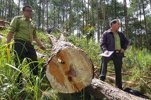 Nhức nhối chuyện phá rừng thông ở Lâm Đồng