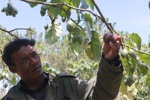 Lâm Đồng: Cà chua thân gỗ vẫn không đủ để bán