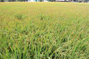 Tập trung chuẩn bị cho sản xuất lúa vụ Đông Xuân các tỉnh phía Bắc