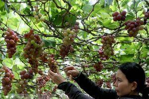 Nhiều giải pháp phát triển bền vững cây nho ở Ninh Thuận
