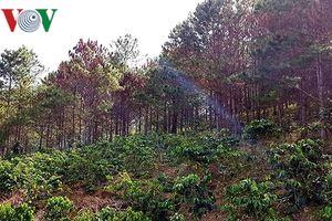 Vụ 700 cây thông 3 lá ở Lâm Đồng bị chết, 3 cán bộ bị phê bình