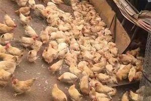 Hơn 300 con gà đau tim chết sạch vì... hãi hùng thứ tiếng này