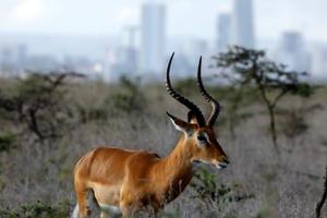 Nairobi - thành phố duy nhất thế giới động vật hoang dã được tự do đi lại