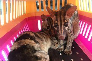 Cứu hai cá thể cầy vằn từ nạn buôn bán động vật hoang dã qua mạng