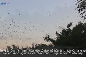 Đẹp mê hồn 'đảo cò' giữa lòng TP Thanh Hóa