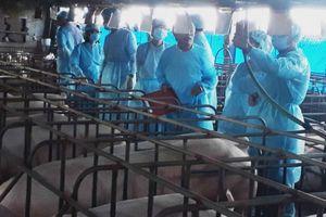 Tổng kết Mô hình nuôi lợn sinh sản áp dụng công nghệ thụ tinh nhân tạo