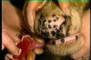 Thông tin mới nhất về gần 300 con lợn 'chết vì bệnh lạ' ở Hà Nội