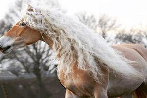Nàng ngựa có 'mái tóc' xoăn vàng 'gây sốt' mạng xã hội