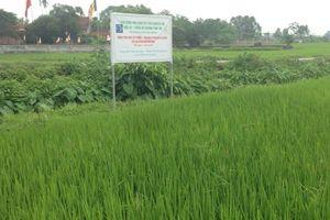 Huyện Chương Mỹ đẩy mạnh phát triển lúa hữu cơ