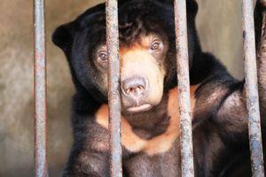 Cứu hộ cá thể gấu chó nặng 50 kg bị nuôi nhốt 15 năm