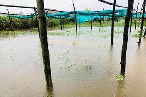 Quảng Nam: Mưa lớn dai dẳng, nông dân nguy cơ mất trắng vụ rau, quả, hoa Tết