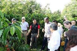 Thoát nghèo nhờ trồng cà phê theo mô hình của Nestle