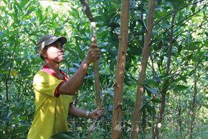 Thoát nghèo từ trồng rừng