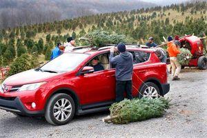 Ở Anh, tài xế phải ra tòa nếu chở cây thông Noel sai cách