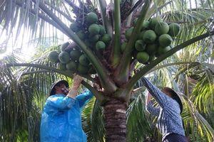 Thu nhập khá từ dừa Xiêm