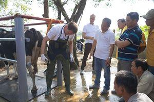 Nông dân Việt Nam và nông dân Hà Lan giao lưu, tập huấn kỹ thuật chăn nuôi bò sữa