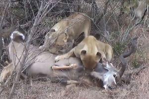 Clip: Linh dương vằn Kudu chết thảm dưới nanh vuốt đàn sư tử