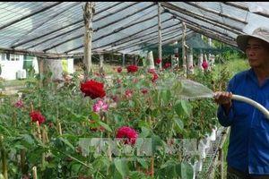 Đồng Tháp: Hơn 200 giống hoa hồng ngoại phục vụ Tết