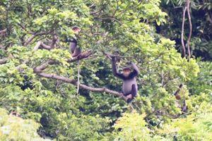 Bảo tồn loài voọc chà vá chân xám tại Núi Thành