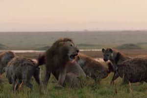 Cuộc chiến khốc liệt giữa sư tử đơn độc và đàn linh cẩu khát máu
