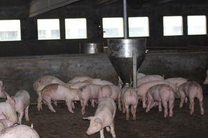 Nam Định hướng tới chăn nuôi an toàn