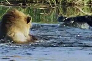 Rủ nhau bơi qua sông, anh em sư tử bị cá sấu tấn công